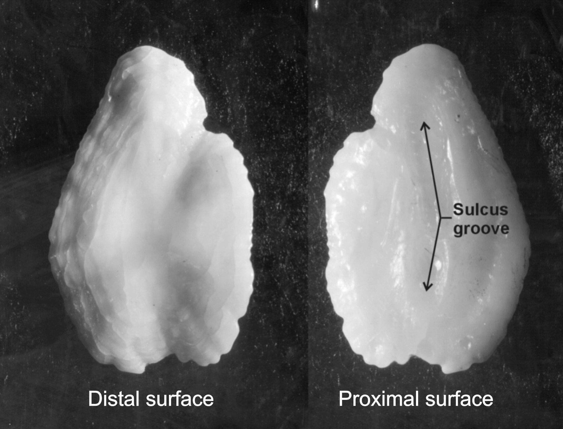 Distal and proximal surfaces